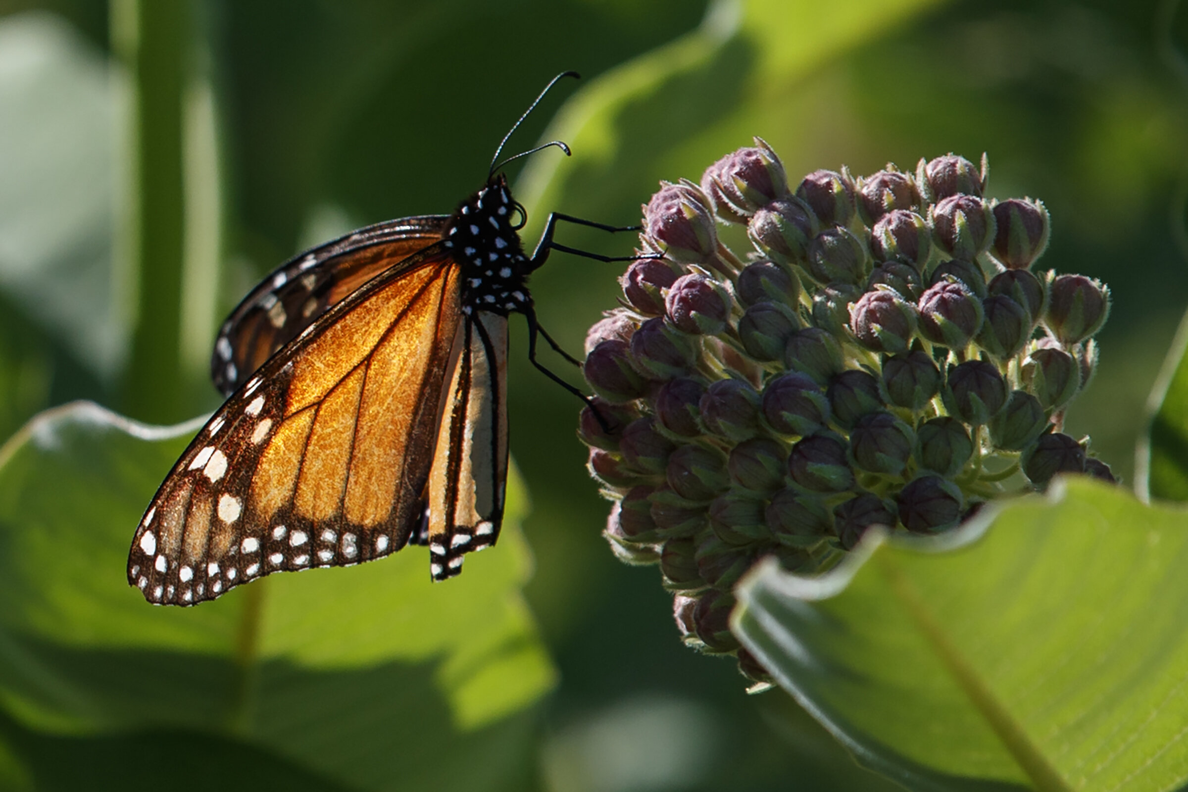 photo of Goodbye monarchs? Protection changes may imperil butterflies image