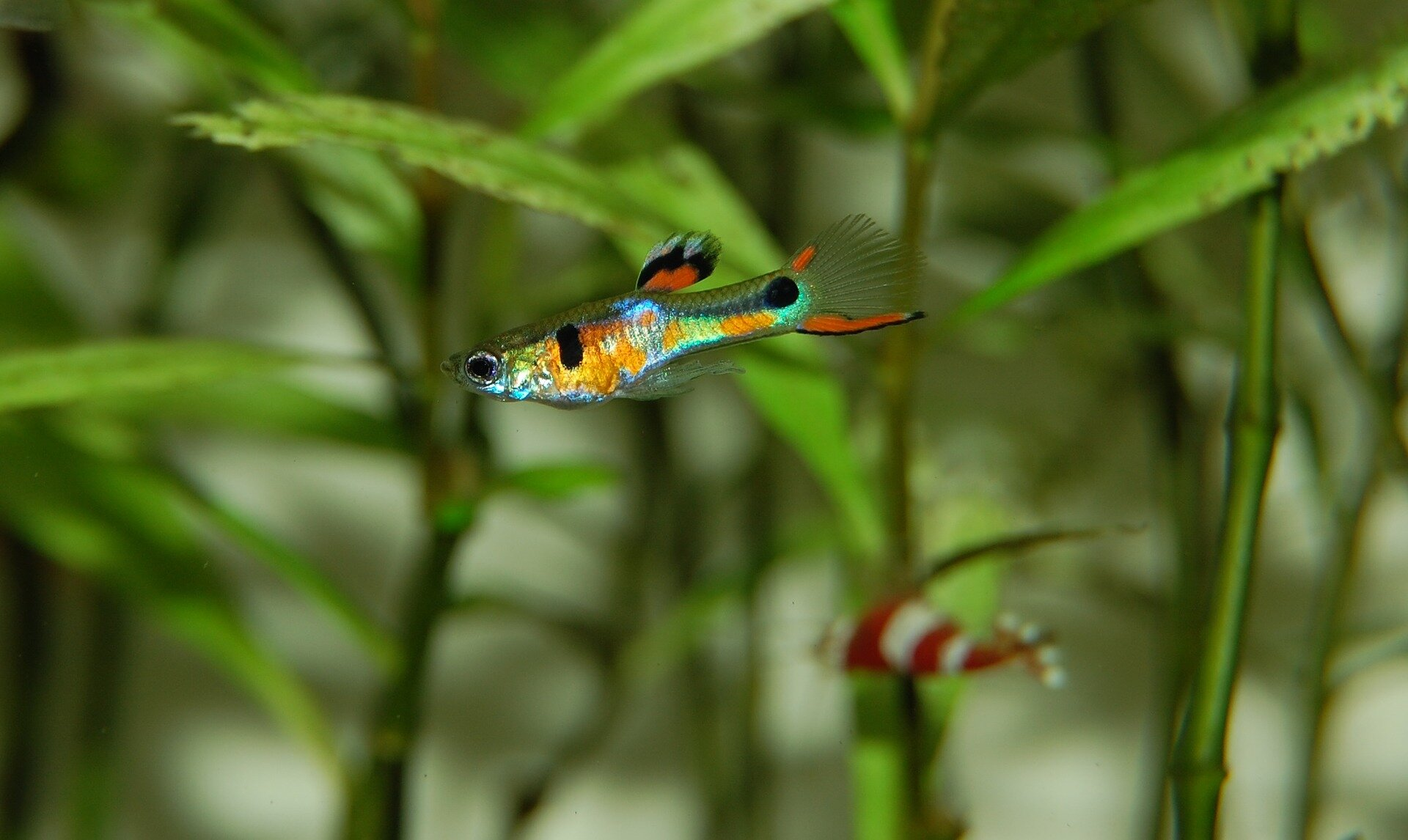 Male fish can thank genes for colourful looks