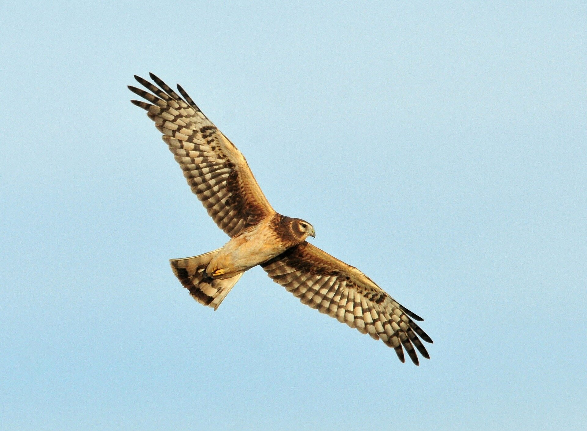Study suggests widespread illegal killing of hen harriers on English grouse moors