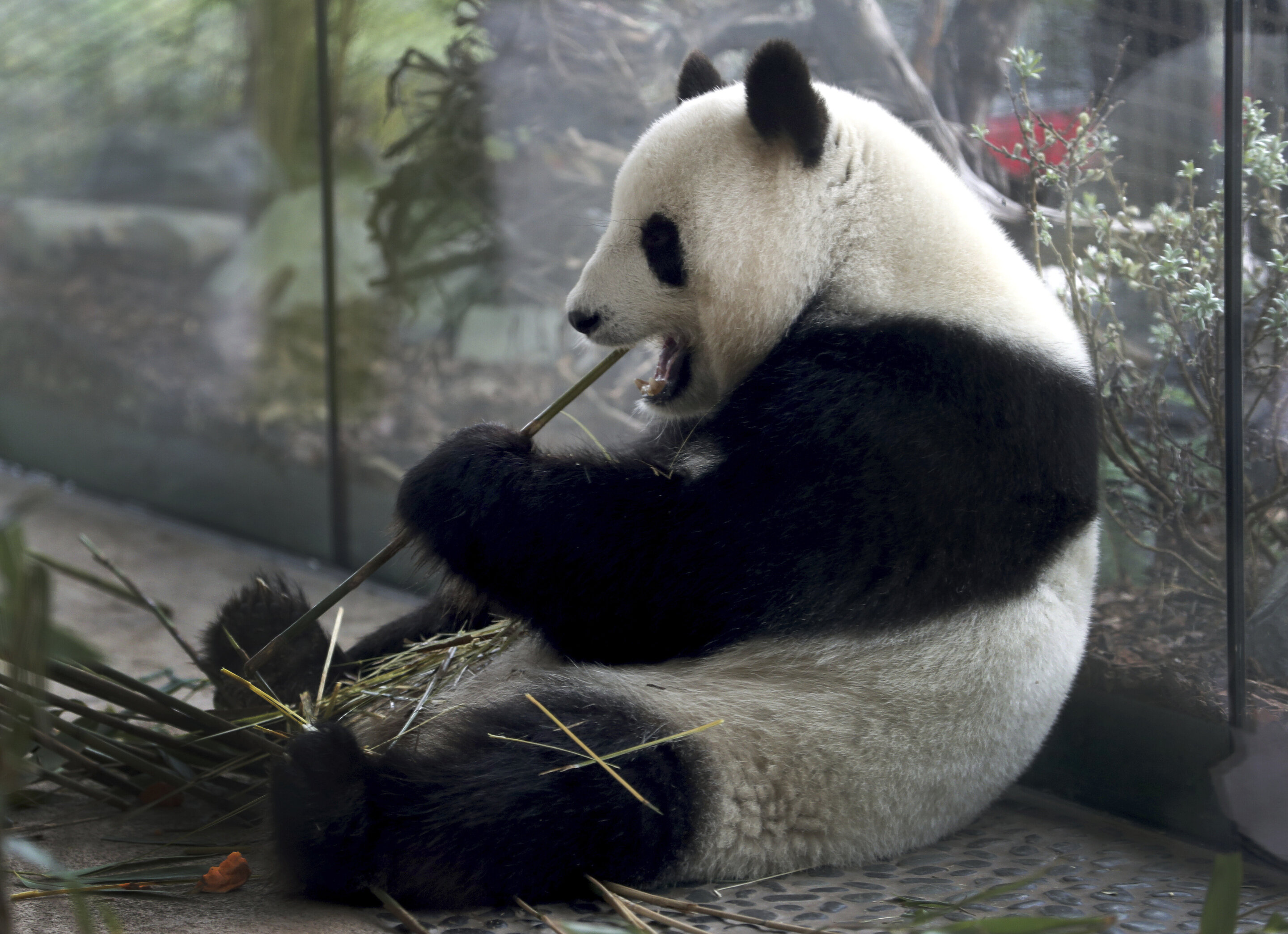 photo of High hopes that Berlin zoo's panda is expecting image