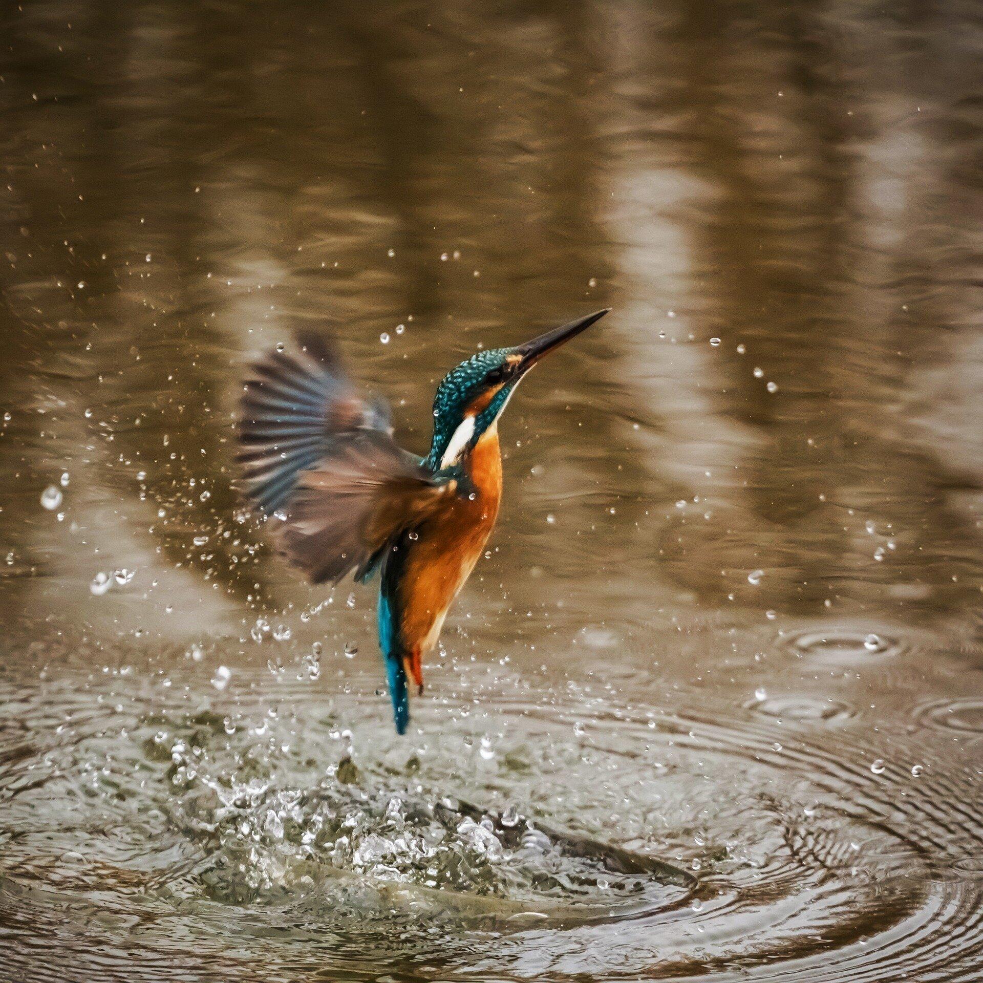 [Image: kingfisher.jpg]