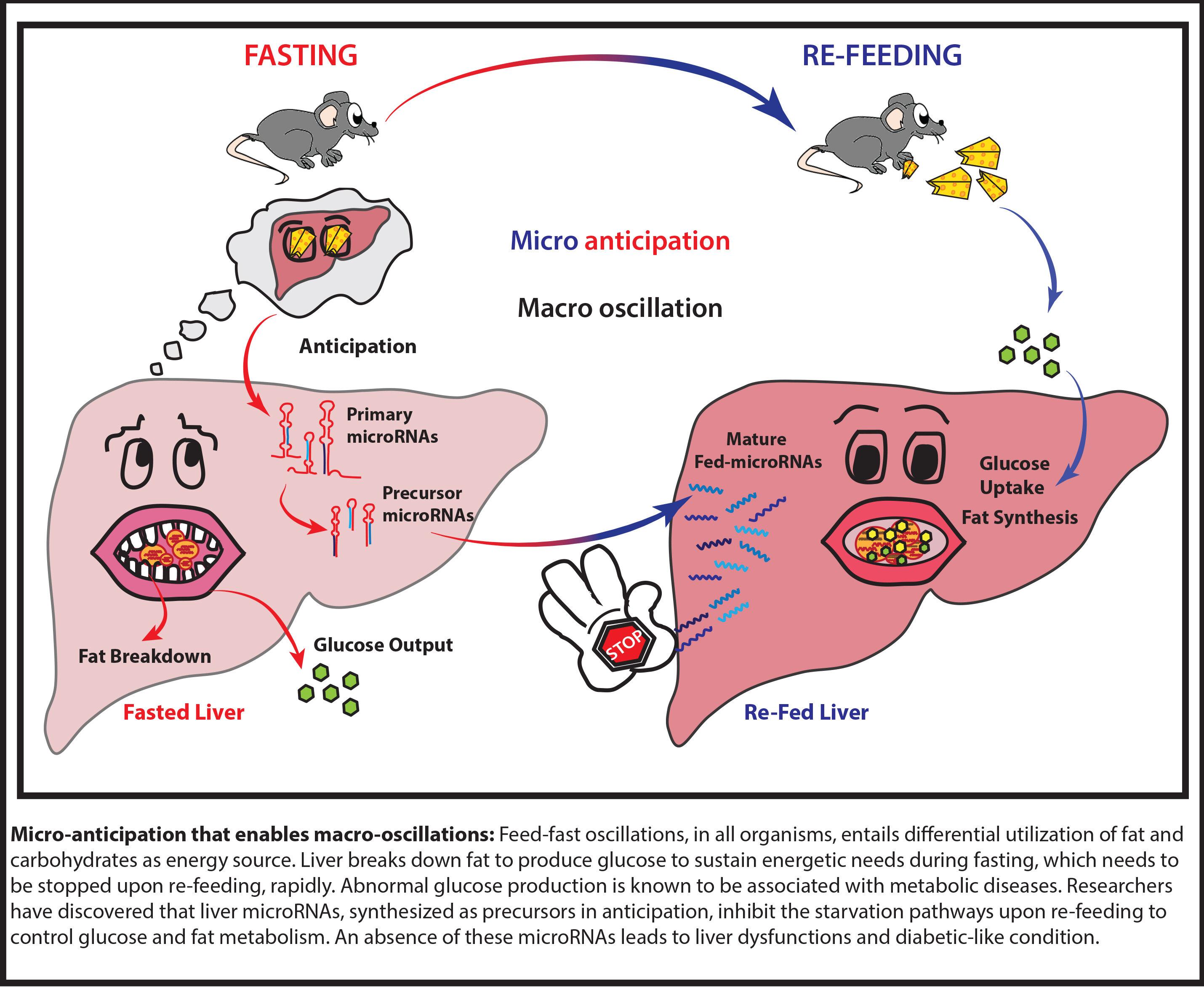 Micro Control Of Liver Metabolism