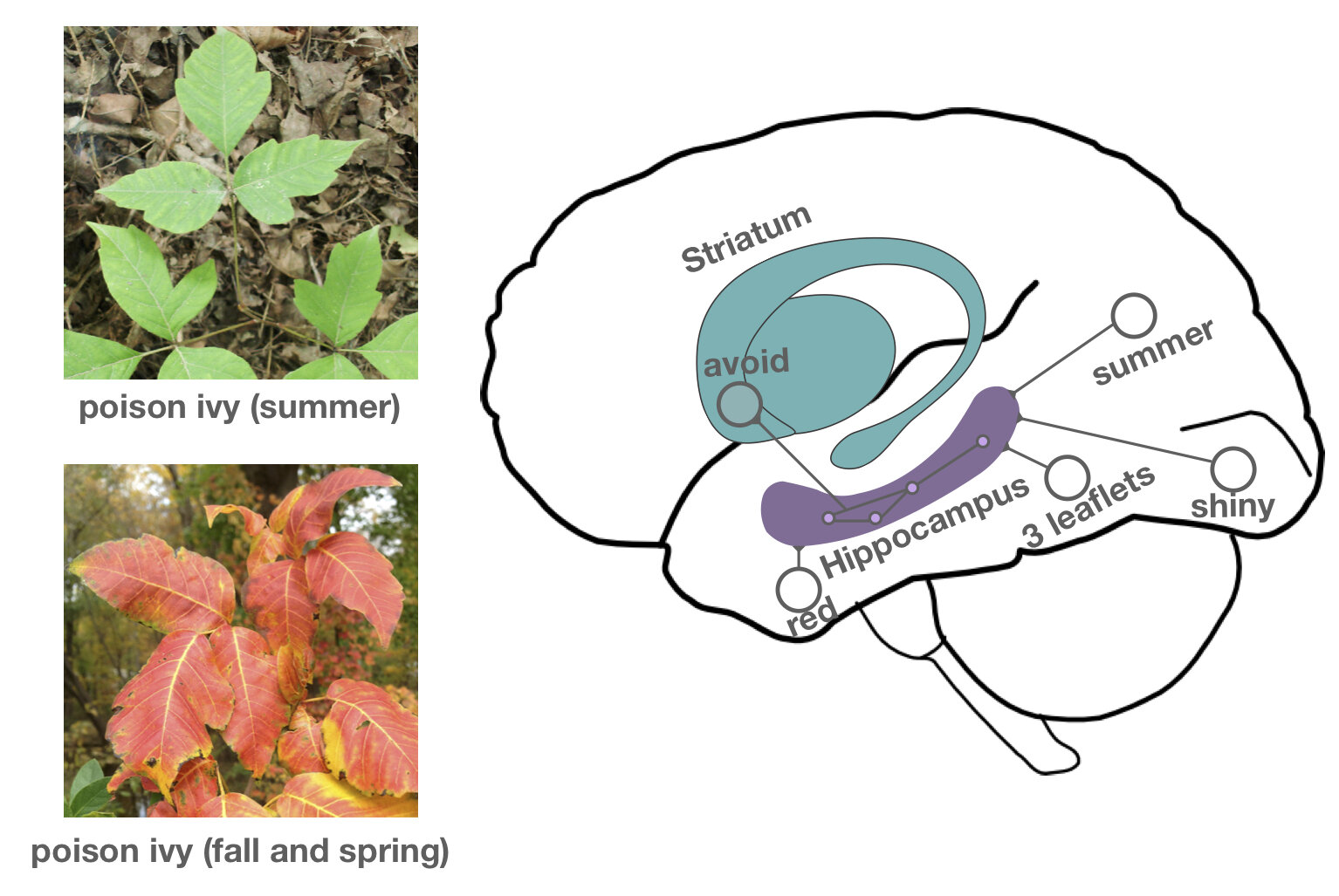 More than just memories—a new role for the hippocampus ...