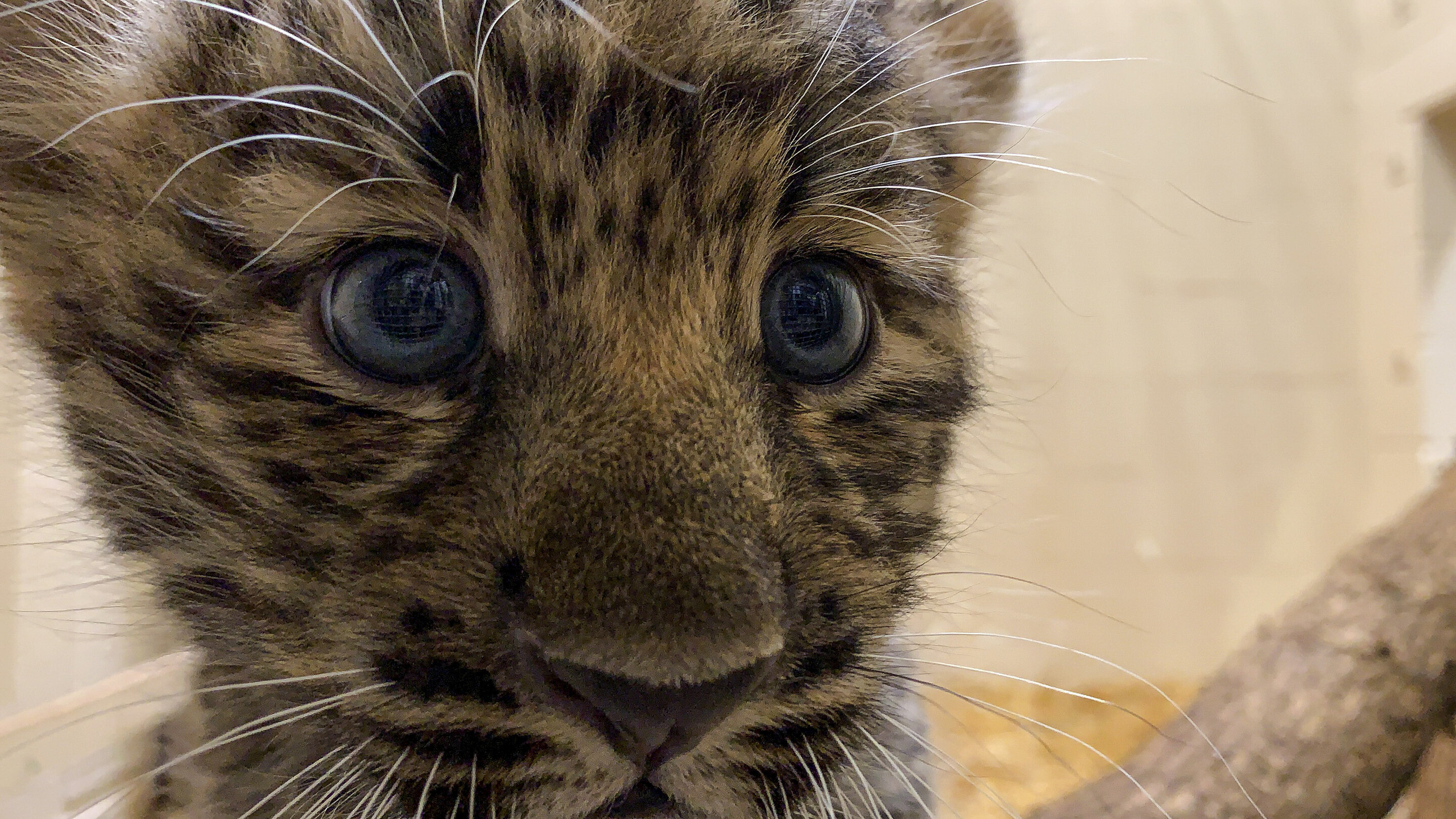 photo of Rare Amur leopard cubs go on view at zoo; no names yet image