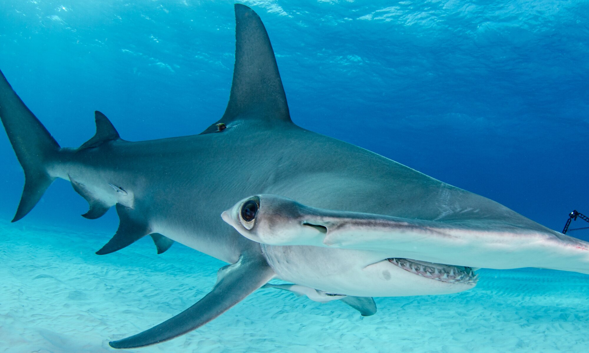Softening the blow for hammerhead sharks and tropical ...