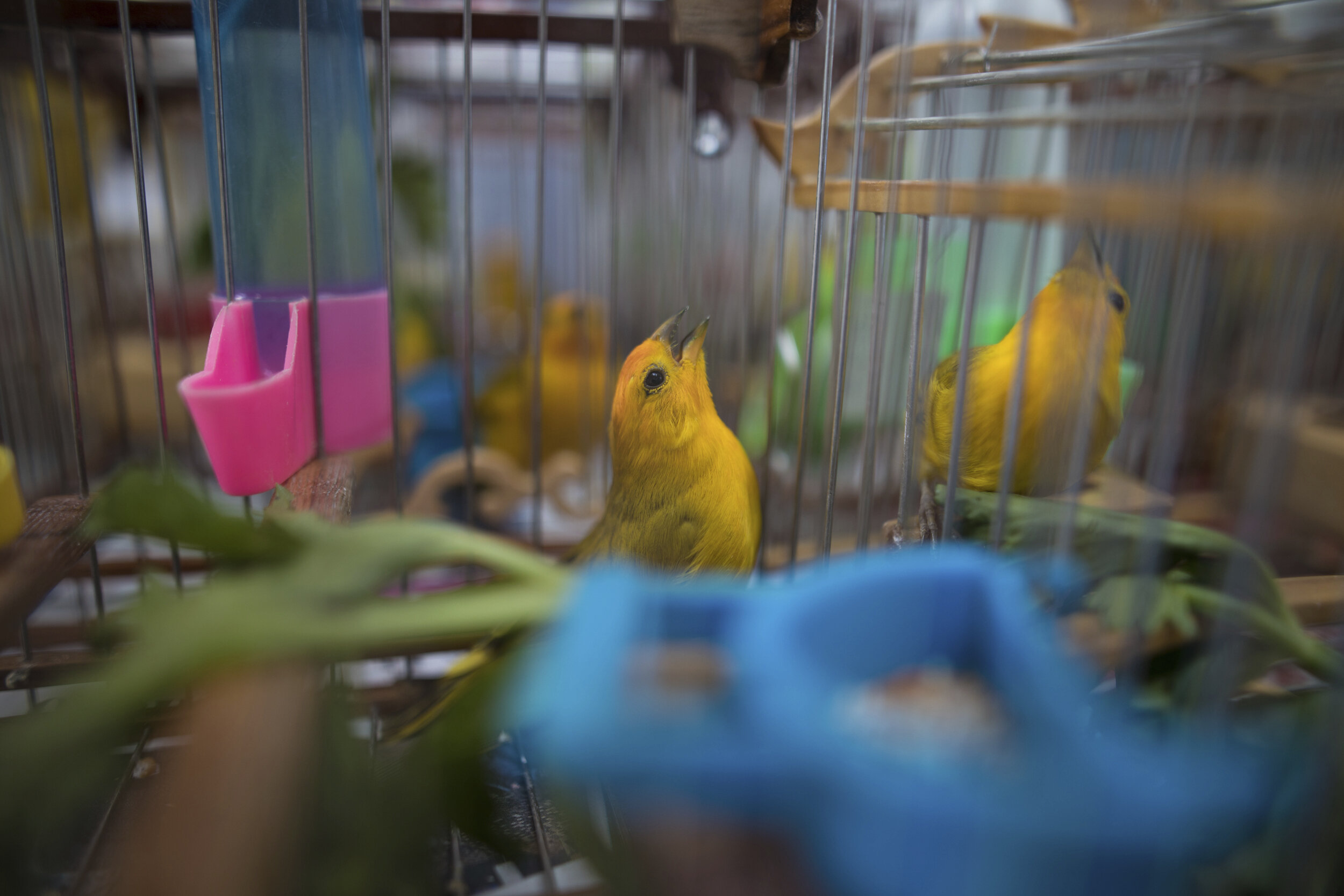photo of Songbirds silenced as Colombia fights wildlife trafficking image