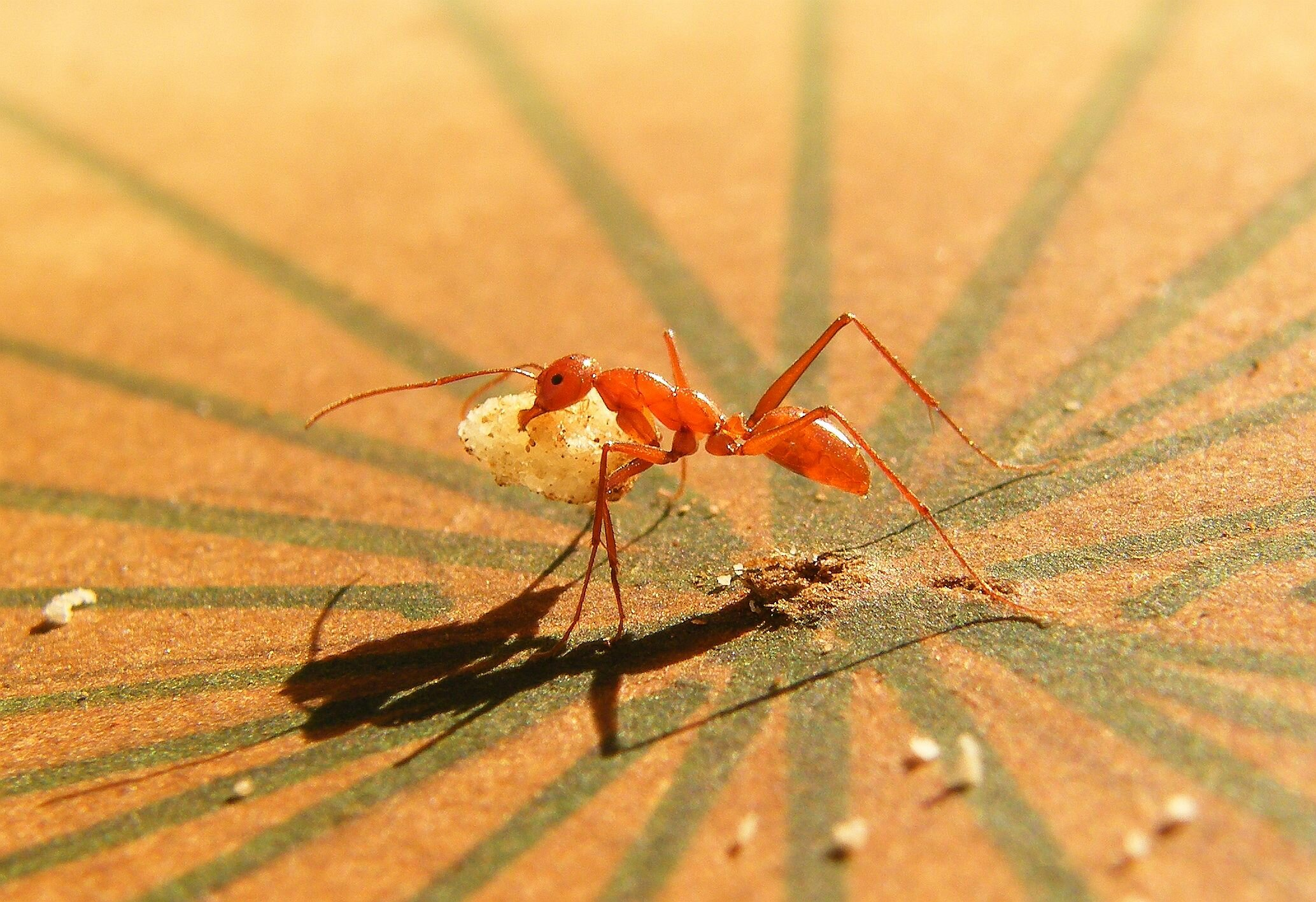 Studying ant cooperation is revealing how brains work together
