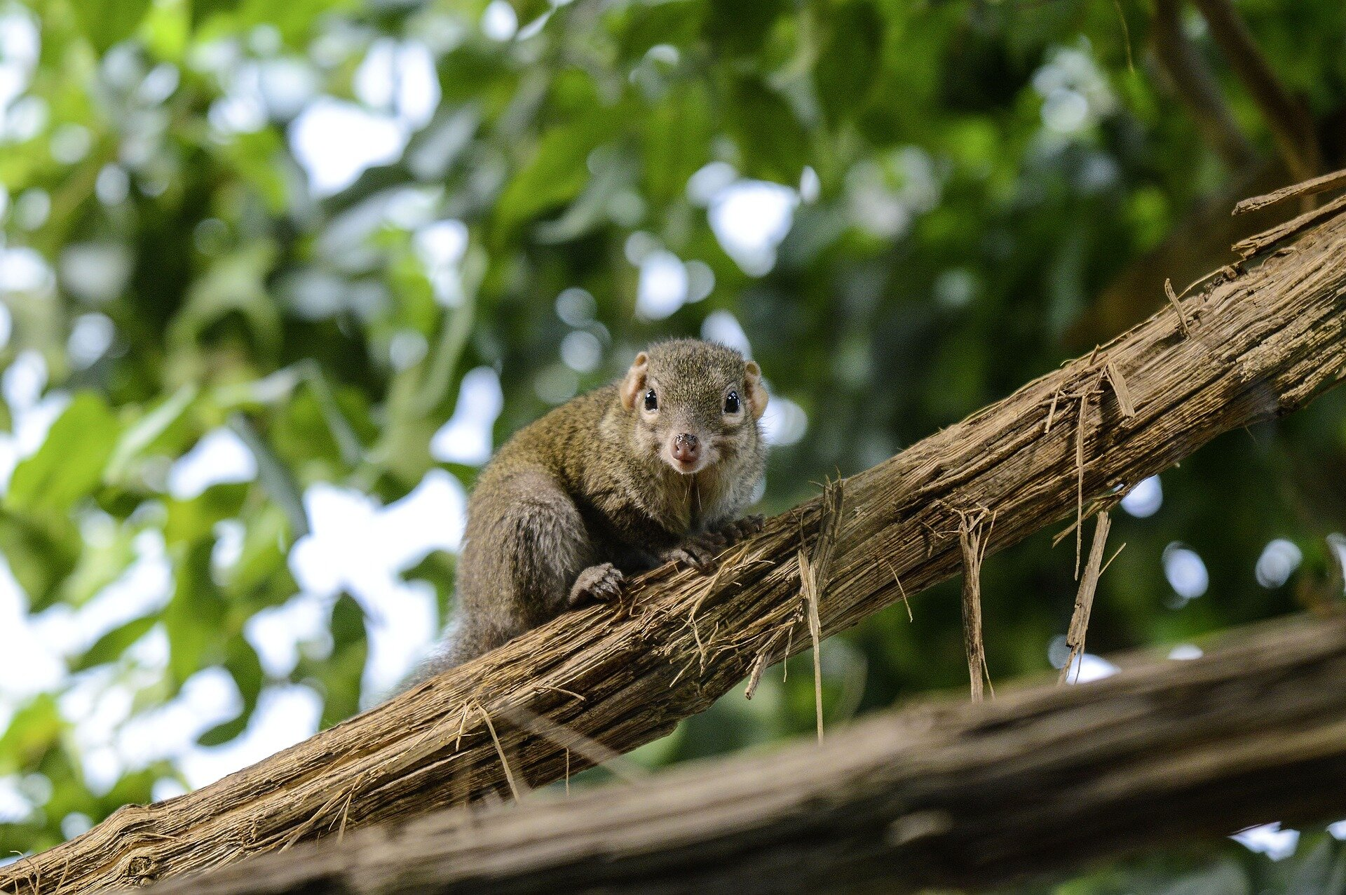 Small Shrew Could Make A Big Difference In Dry Eye Research