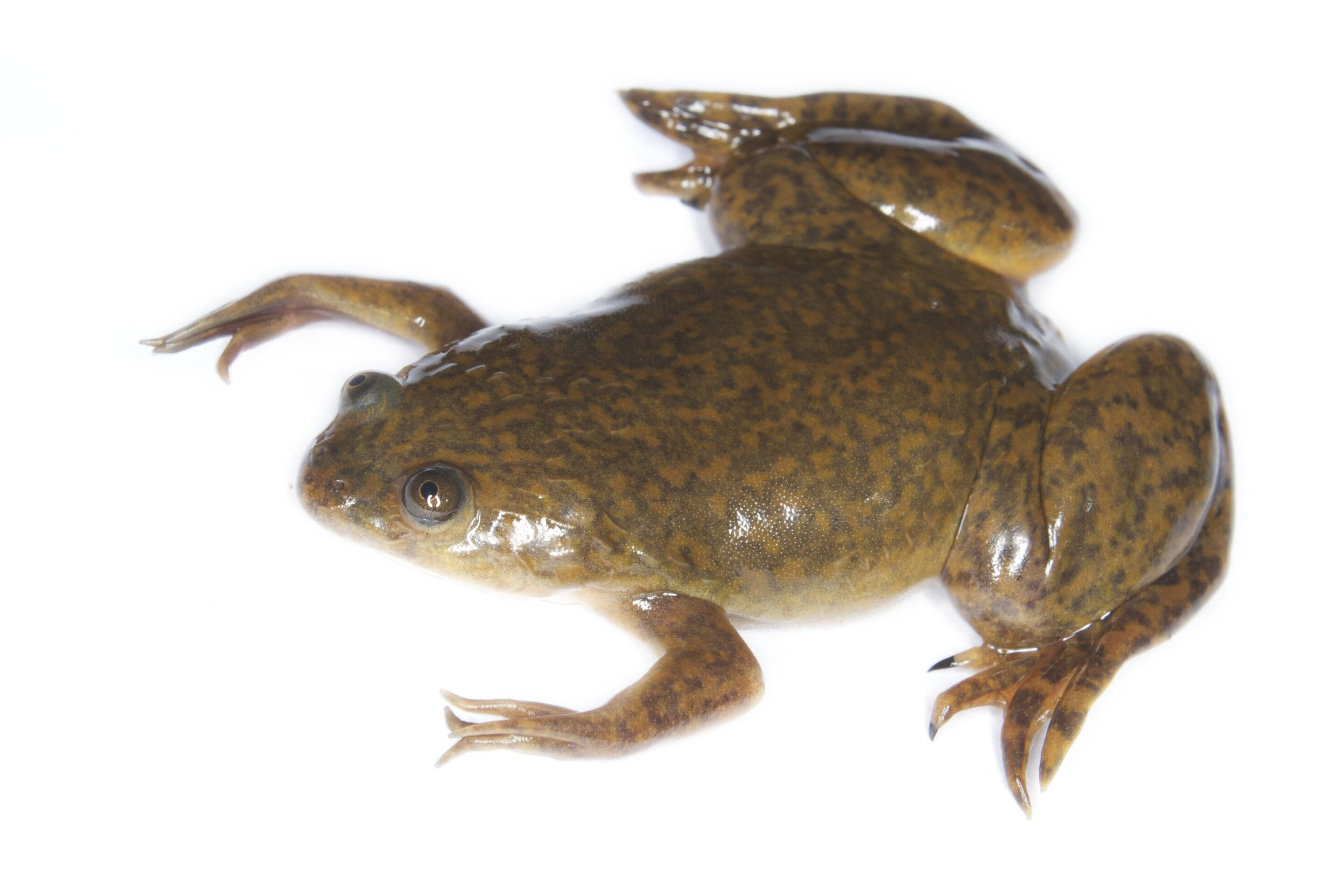 photo of Scientists find new type of cell that helps tadpoles' tails regenerate image