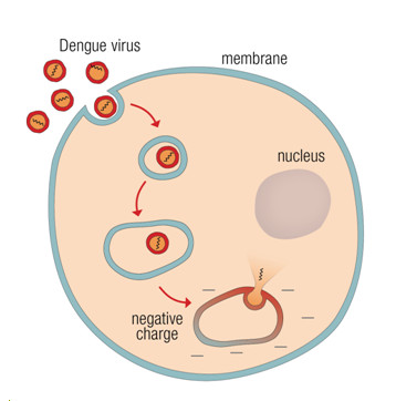 Scientists discover how dengue virus infects cells ccuart Choice Image