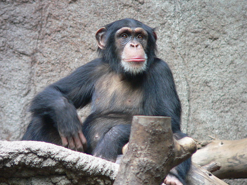 Researches Find Poop Throwing By Chimps Is A Sign Of Intelligence