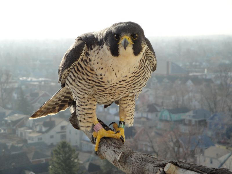 Falcon Cam Captures Life In Ub Nest