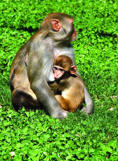 Baby Monkeys Receive Signals Through Their Mothers Breast -1770