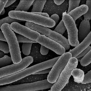 Scientists understand how E. coli clone has become globally distributed