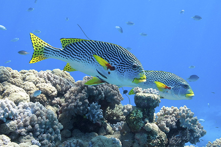 Isolation a threat to great barrier reef fish for Great barrier reef fish