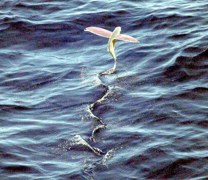 Hasil gambar untuk Flying Fish