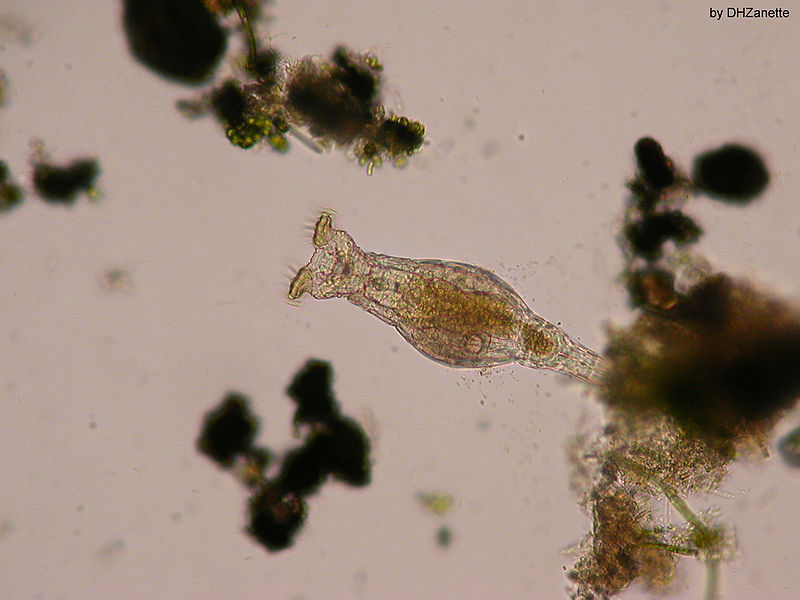 Bdelloid rotifers asexual propagation