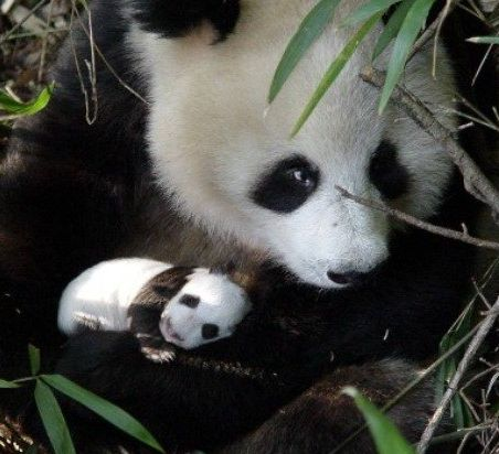 Genomic study discovers evidence of giant panda's population ...
