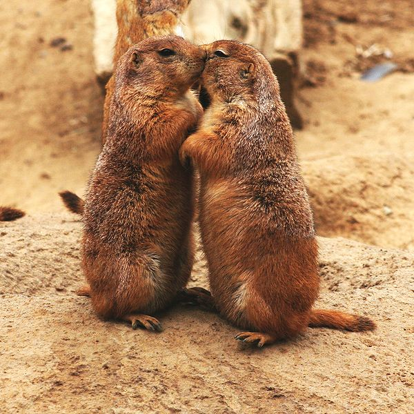 Prairie Dogs Kiss More When Being Watched