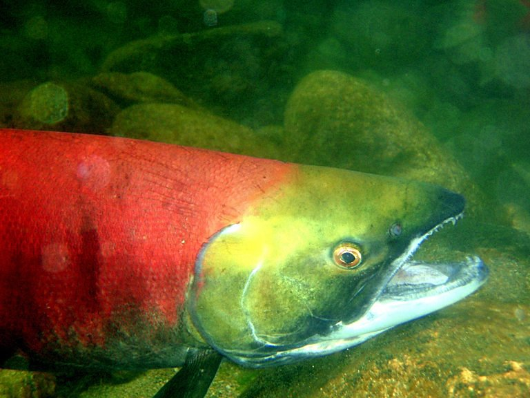 pacific salmon Nature's sunscreen the pacific salmon family while some areas of the pacific northwest and british columbia are experiencing declining stocks of salmon along with problems from fish farming.