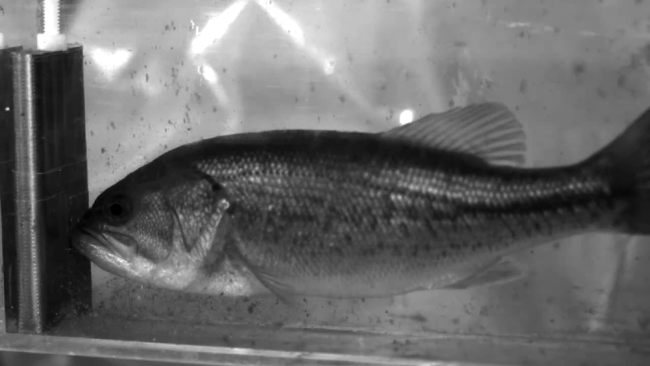 Bass use body\'s swimming muscles to suck in food