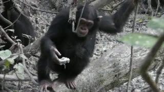 Chimpanzees binge on clay to detox and boost the minerals in their diet